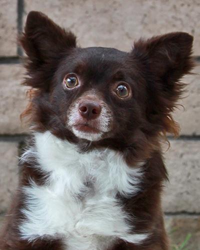 EEVEEChihuahua Mix ♂Hiking Buddy & Trick Dog