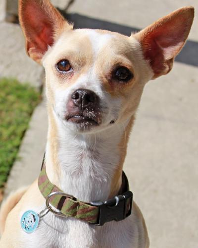 REBELChihuahua Mix ♂Hiking Buddy & Trick Dog