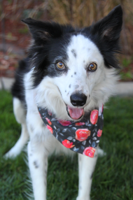 Blitz looking pretty in her RoKodog bandana