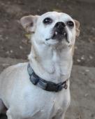 Aye Chihuahua!