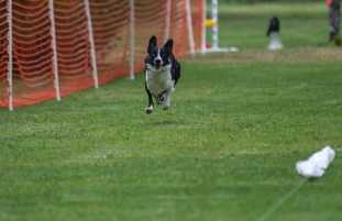Fast CAT Lure Coursing